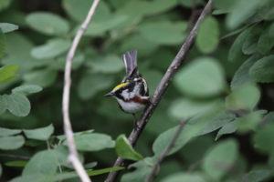 Chestunt Sided Warbler