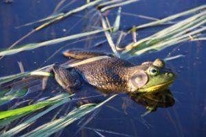bull-frog