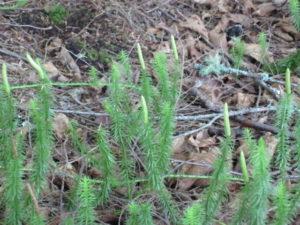 ground-pine