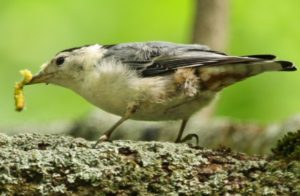 nuthatch-with-caterpillar