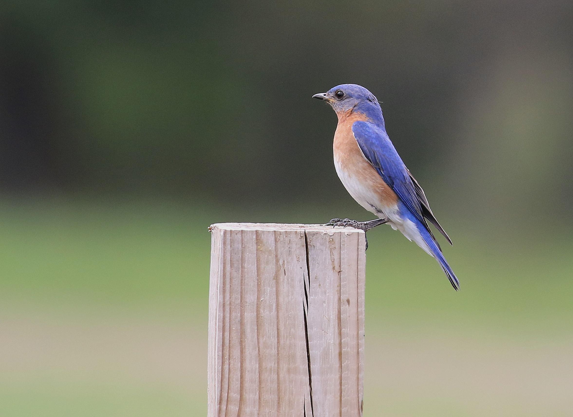 N96A0121 bluebird at 40