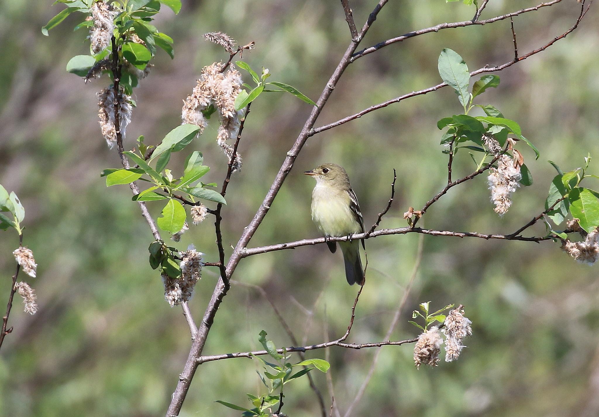 N96A0249 alder flycatcher