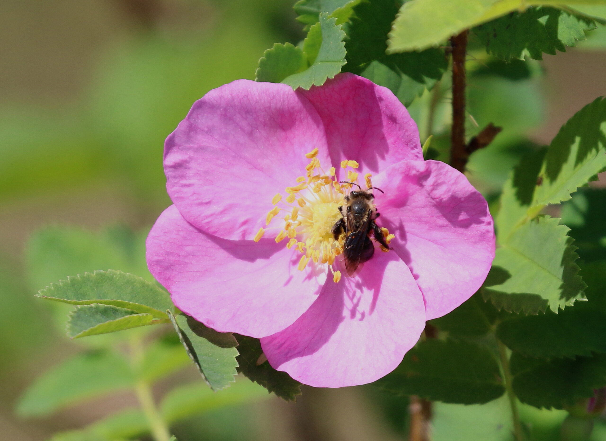 N96A0400 wild rose pollinator at powell m