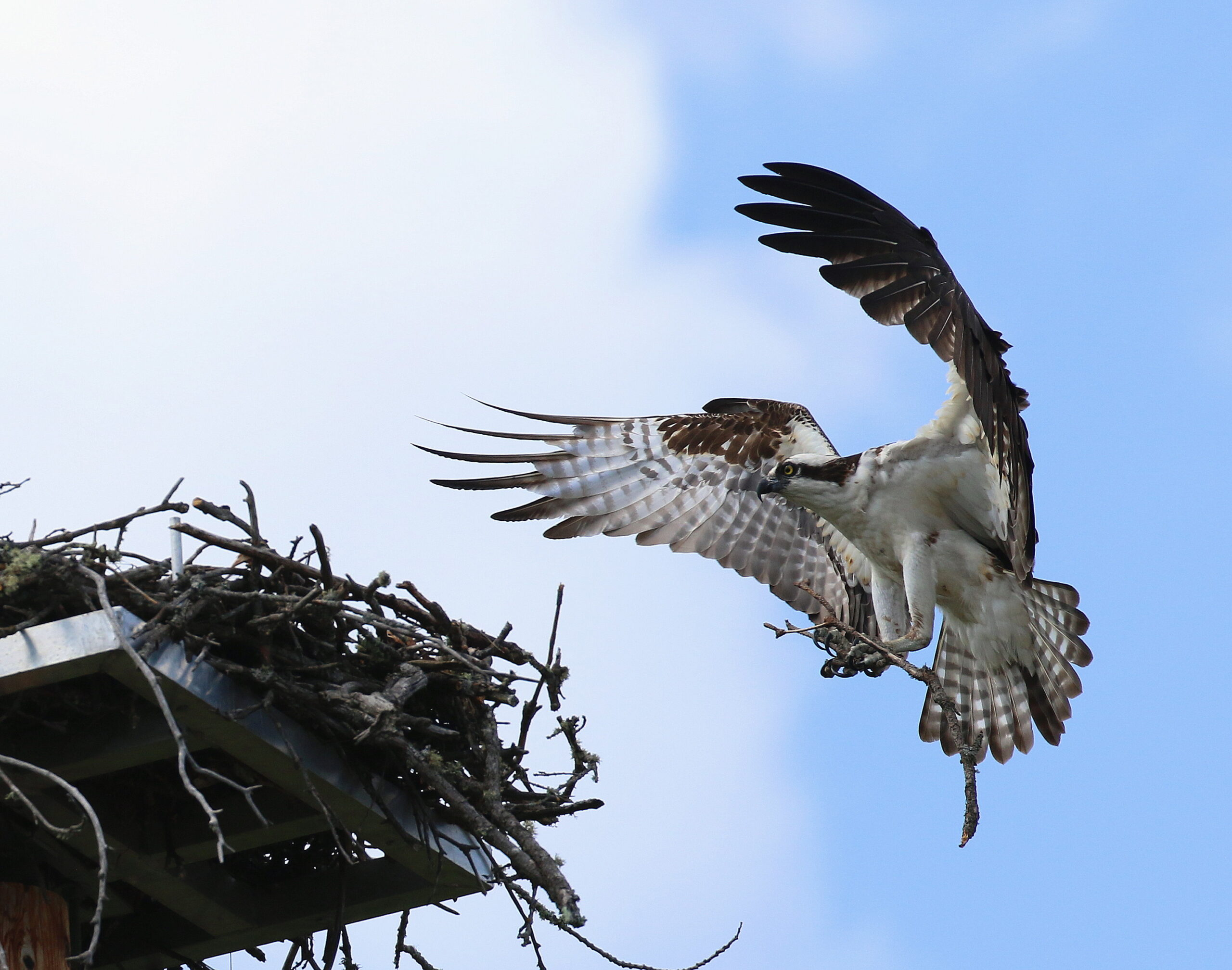 N96A0463 osprey nest 51 and h