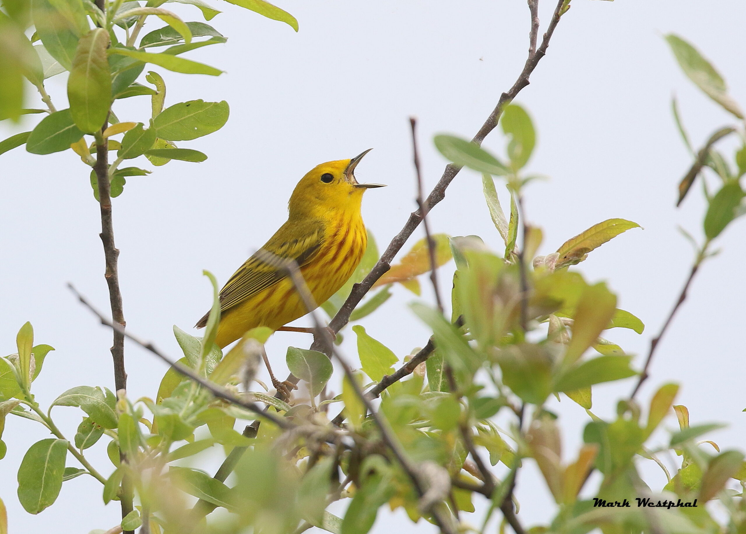 N96A4218 yellow warbler pm w sig